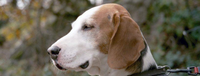 Deutsche Bracke dog