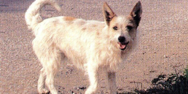Alopekis dog
