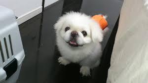 Pekingese dog training